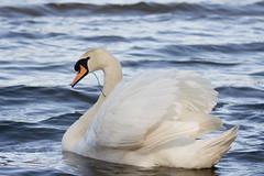 Swan at Virginia Water