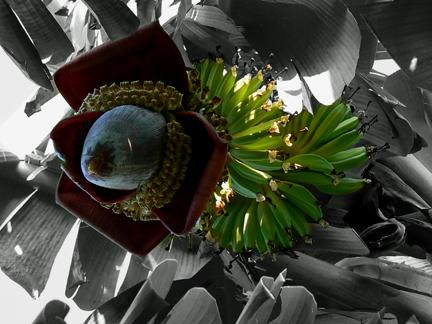 banana flower2
