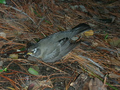 Fainted bird