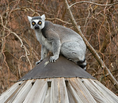 """IMG_3340: Lemur on the Roof • <a style=""""font-size:0.8em;"""" href=""""http://www.flickr.com/photos/54494252@N00/360060829/"""" target=""""_blank"""">View on Flickr</a>"""