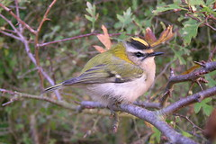 Firecrest, Hastings Country Park Nature Reserve