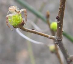 Spider on flowering bud