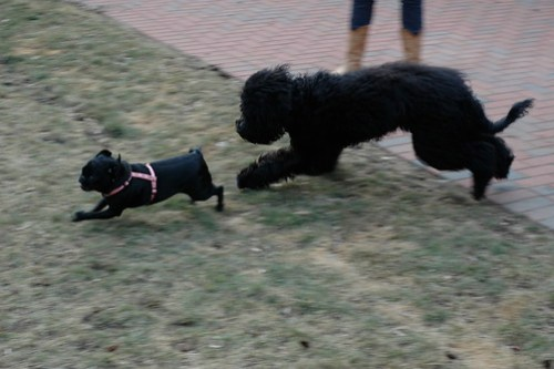 Thatcher and Seamus play date