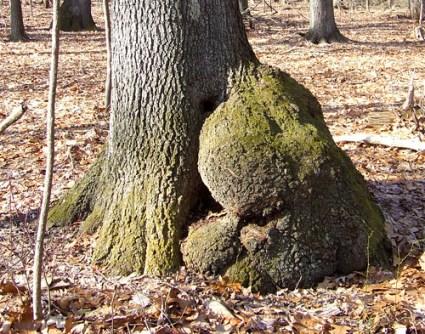 white oak burl