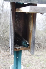 Tree Swallow Fatality