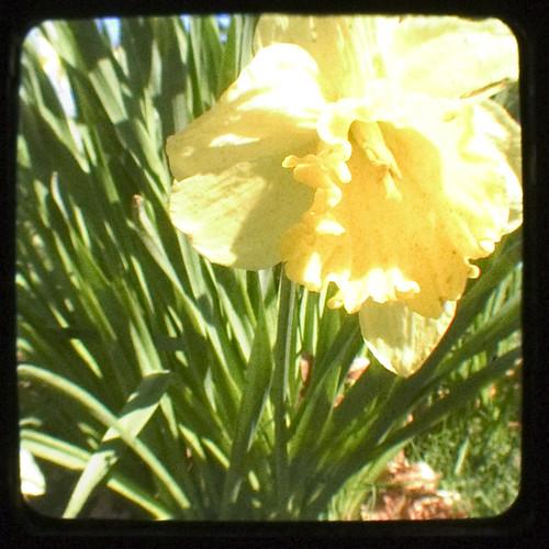 Daffodil, take two