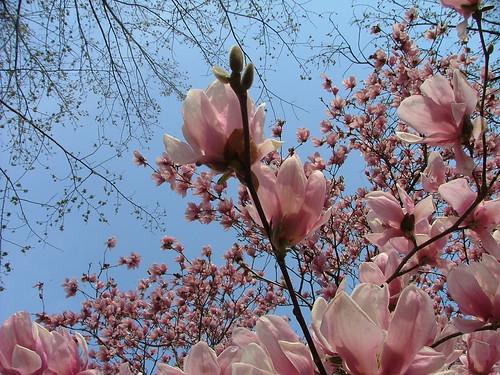 Magnolia Blossoms--Capitol Hill