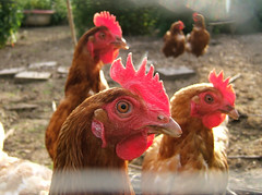 Inquisitive hens
