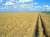 wheat_field_rows