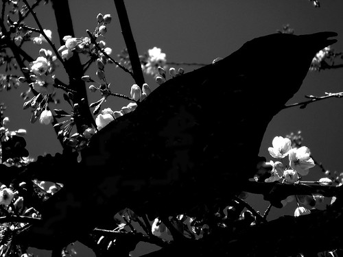 crow and blossoms bw
