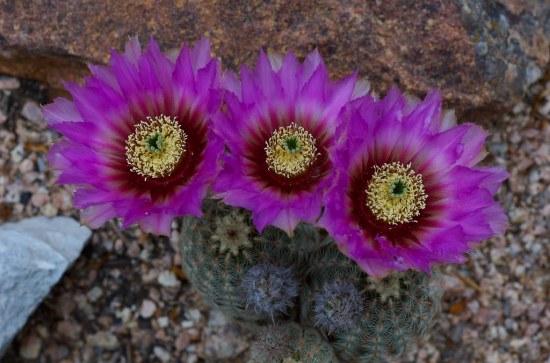 Lace cactus