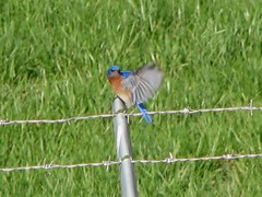 Bluebird Flying Away