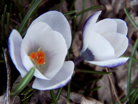 2 White Crocuses