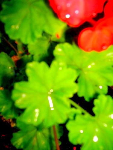 Night Geraniums