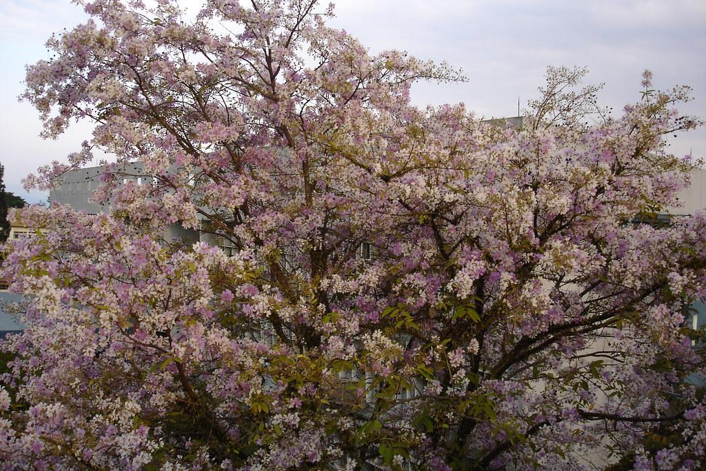 cherry blossom, 5th floor