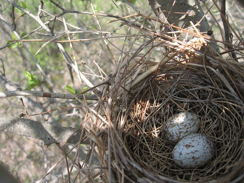 Cardinal nest with two eggs