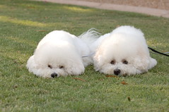 Champion Bichons Frises pretending to be littl...