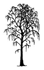 Silver Birch - Silhouette