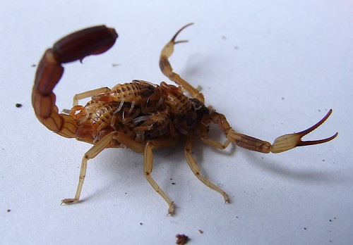 Шкорпија са младима на леђима (аутор Oeeg)
