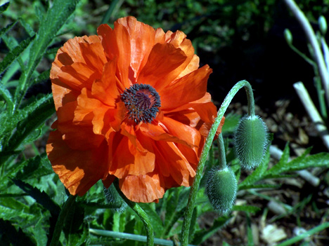 Poppy & Blooms