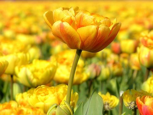 One Tulip on Higher Ground