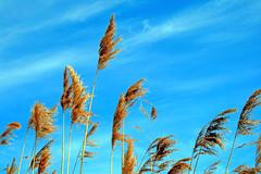 Tall Golden Grass