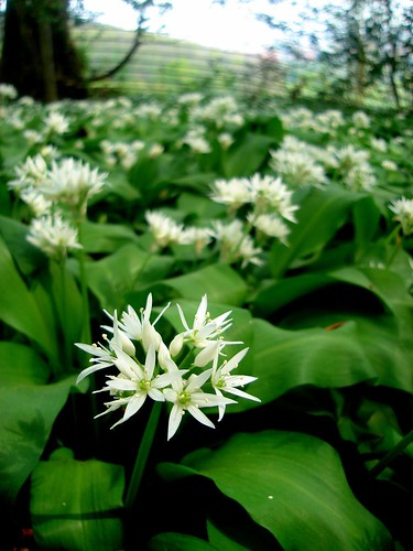 Wild Garlic Allium ursinum