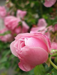 pink rose in the rain