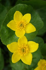 Marsh Marigold Pair