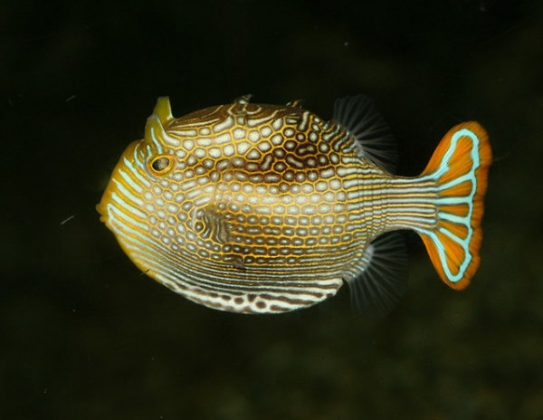 ornate boxfish, IMG_1607x3c