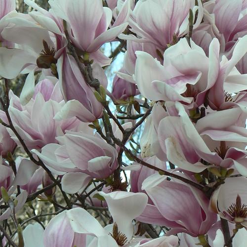 """tulip tree"""