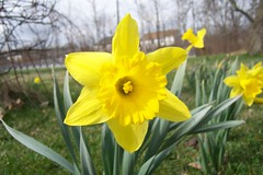 Early spring narcissus