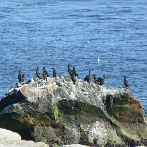 Cormorants off Santa Cruz's West Cliff Drive