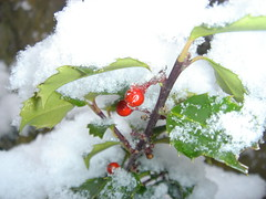 blue princess holly bush in the snow