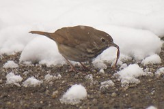 Early Thrush Gets the Worm