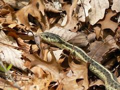 Snake (Close)
