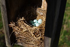 Five Bluebird Eggs