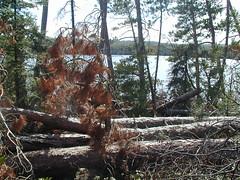 Blowdown in Boundary Waters wilderness, 1999
