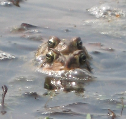 Toads Mating - May 1 2007