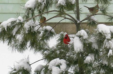 Mom's Cardinals