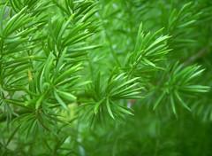Evergreen Delicacy:  Asparagus Fern
