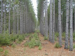 White pine advance regeneration under thinned red pine. Click for a better view.