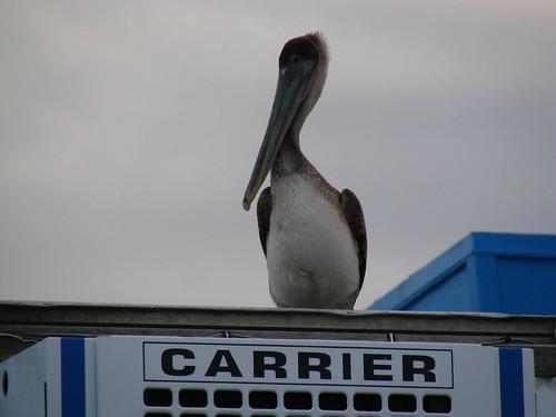 Brown Pelican, Kemah Texas