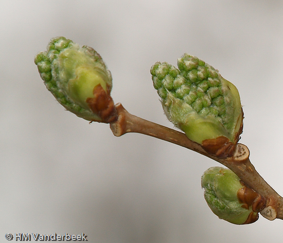 Mulberry Buds