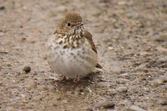 Hermit Thrush hates the snow
