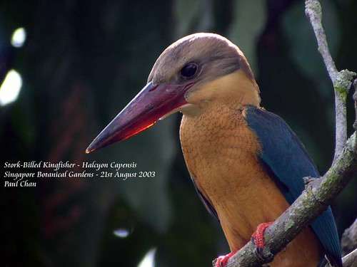 2754Stork-Billed_Kingfisher-10-21aug03_copy