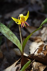 Trout Lily in the Sun