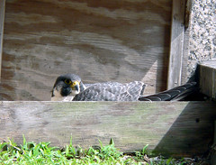 Wacker Peregrine Falcon (adult female)