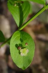 Running Strawberry Bush Flower - May 21st