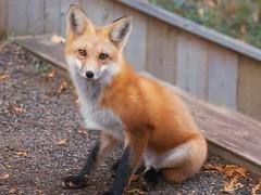 Fox in the garden, hen